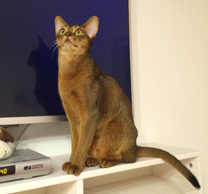 Абиссинская порода кошек: описание, окрасы, характер и поведение