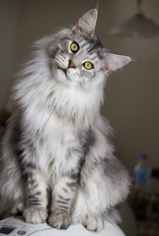 фото новые породы кошек