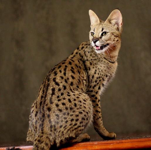 Коты с окраской леопард