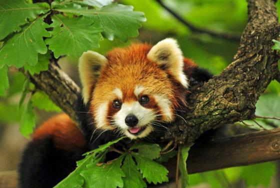 Супер миле створіння-червона панда