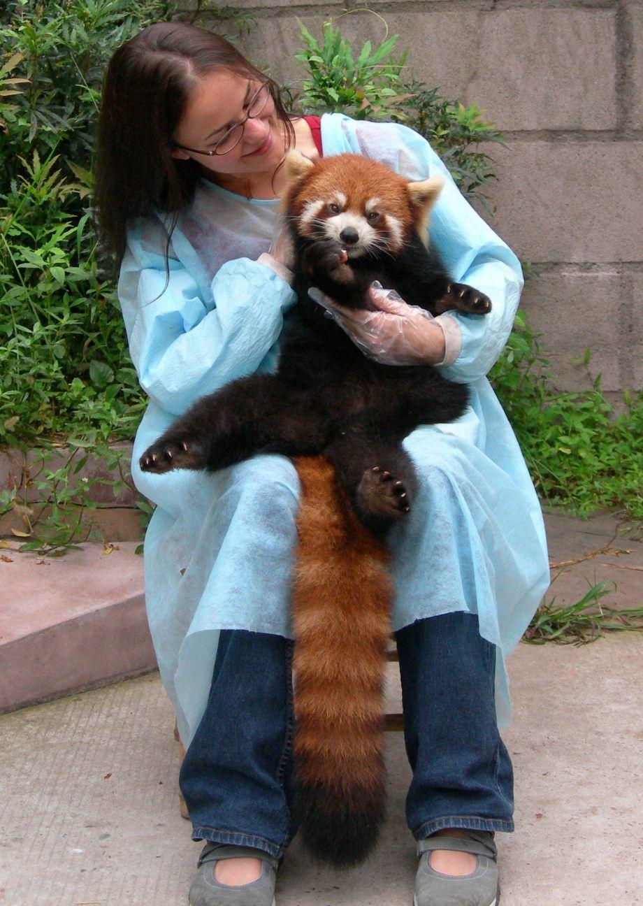 Супер милое создание — красная панда