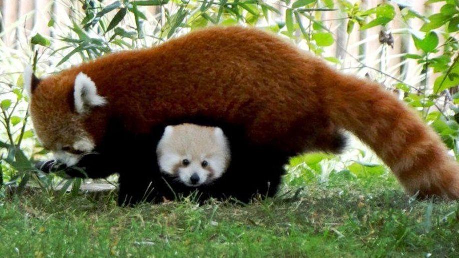 Красная панда в снегу