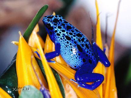 Самые разноцветные и ядовитые лягушки