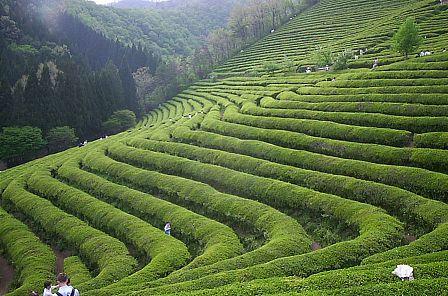 чем полезен зеленый чай для похудения отзывы